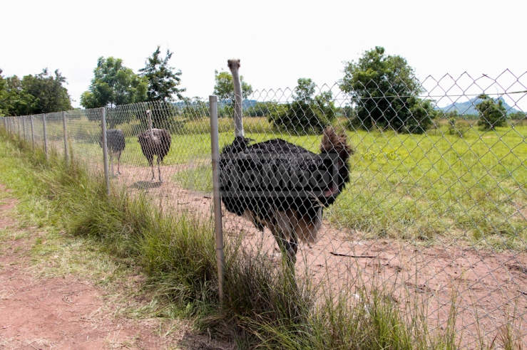 The Ostriches